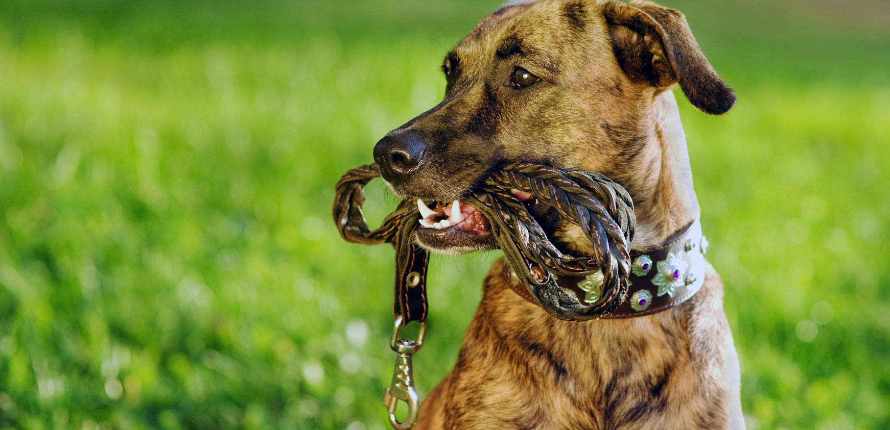 dog with leash in mouth