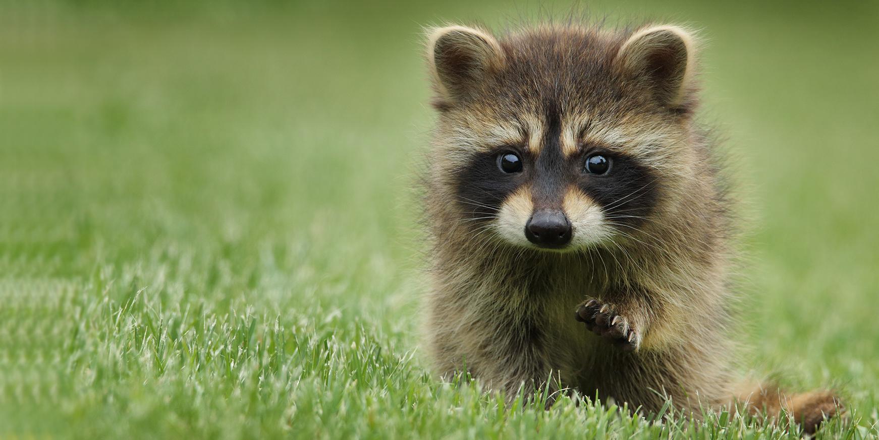 Baby raccoon walking on grass