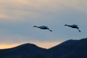 Sandhill Cranes - Photo by John Duncan on Unsplash