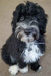 Tux the perfect loving Aussiedoodle