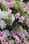 杜鵑花Azalea Rhododendron