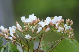 Tung Tree Flowers(油桐花)