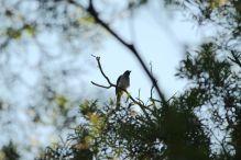Cypsirina formosae(樹鵲)