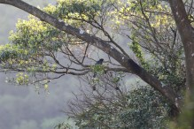 Taiwan Blue Magpie (台灣藍鵲)