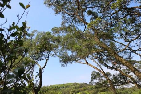 Taiwan Acacia(相思樹)