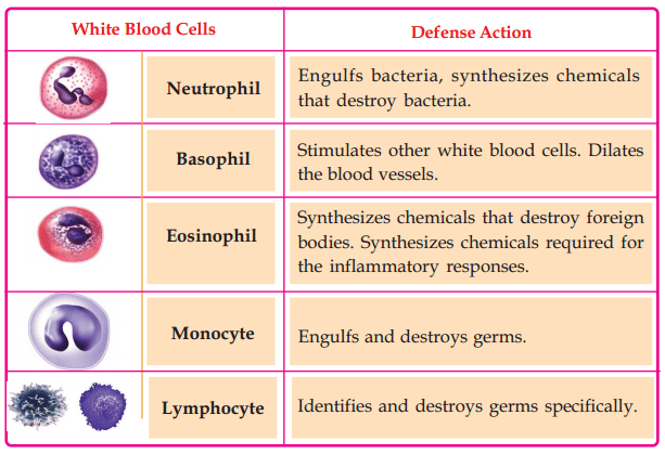Kerala Syllabus Class 10 Biology Solutions Chapter 5 Soldiers of Defense 4