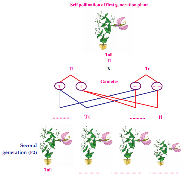 Kerala Syllabus Class 10 Biology Solutions Chapter 6 Unravelling Genetic Mysteries 3