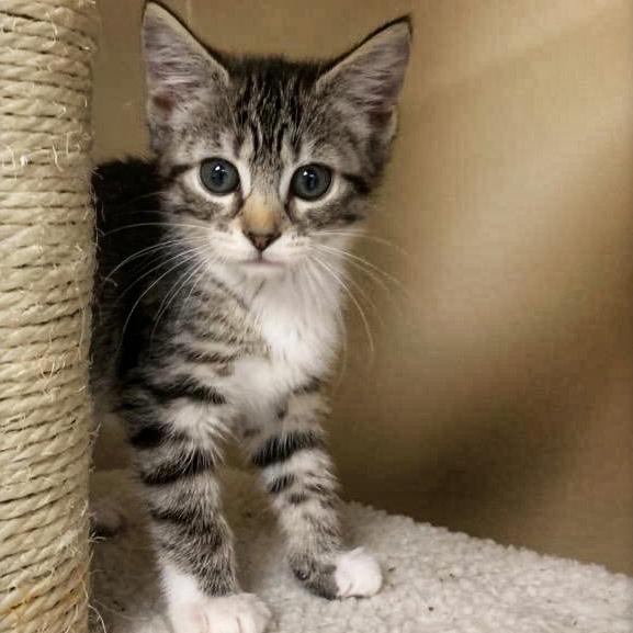 Ringo, the kitten