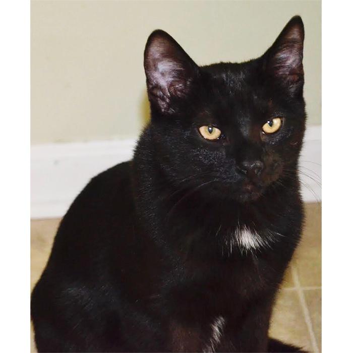 Panther, cat for adoption, north carolina