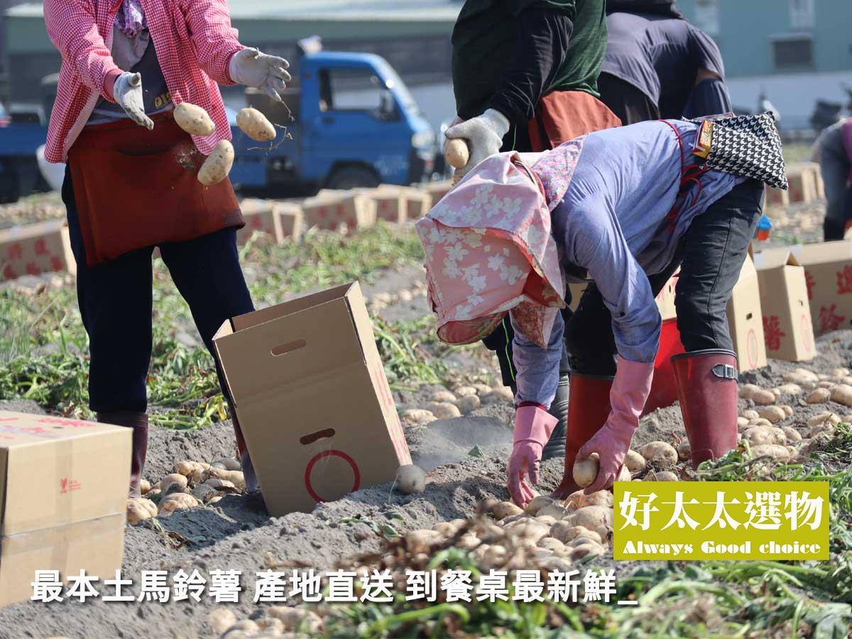 ▲一方水土養一方人,在地生產的馬鈴薯,口感新鮮綿密,是進口馬鈴薯無法比擬的。