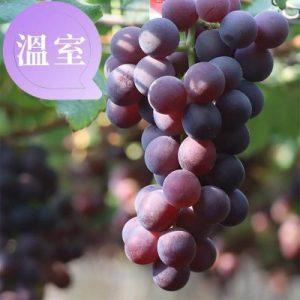 巨峰葡萄溫室栽種