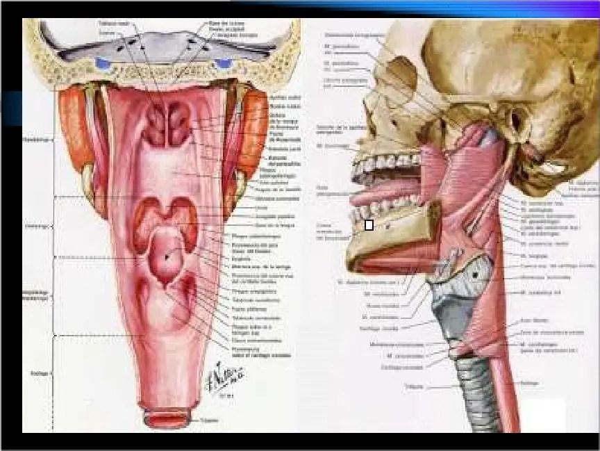 Anatomía de la faringe | Tecnicas de Otorrinolaringología