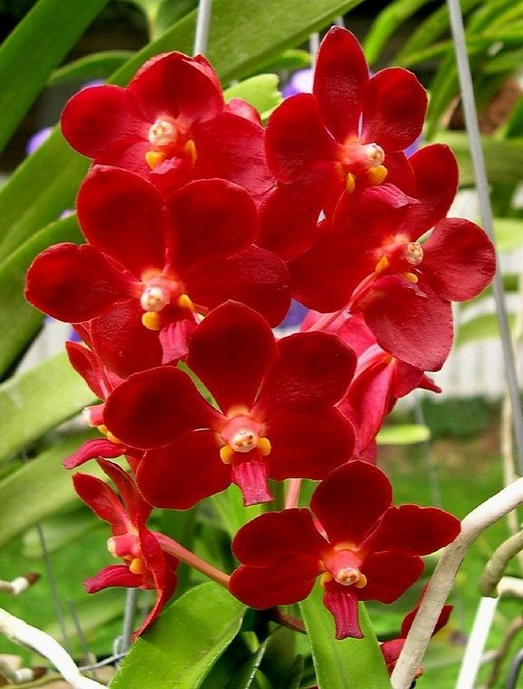 05 Orquídeas Vandas Coloridas + Brindes 1 Vanda 1 Enraizador - R ...