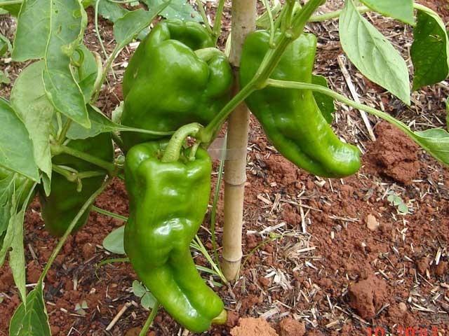 Resultado de imagem para muda de pimentao verde