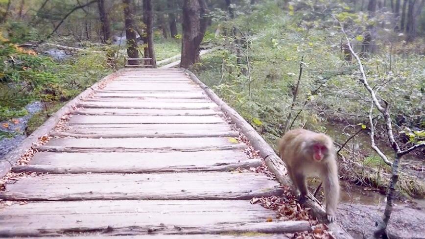 上高地 野生の猿