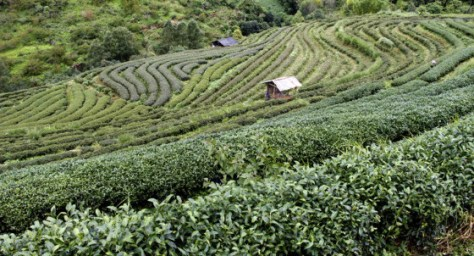 The mountainous site of the Royal Agricultural Station Angkhang – once covered with opium poppies – is the main source of organic teas, temperate fruits, plants and flowers.