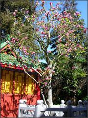 華藏寺-甘露聖樹