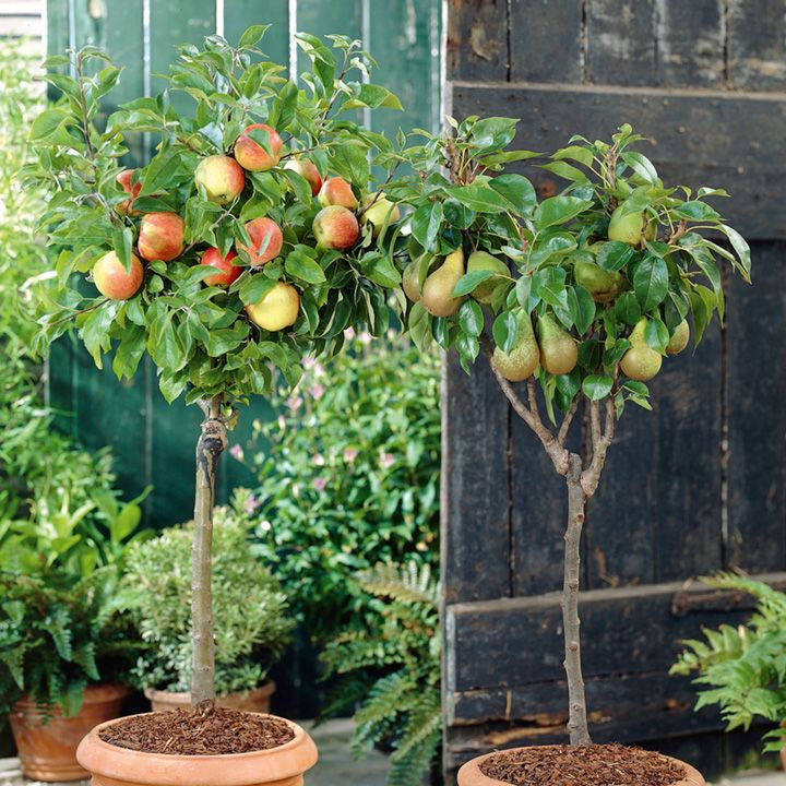 Suttons General Guide To Planting And Growing Fruit Trees