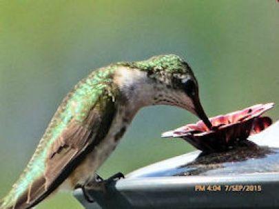 nl hummingbird gill