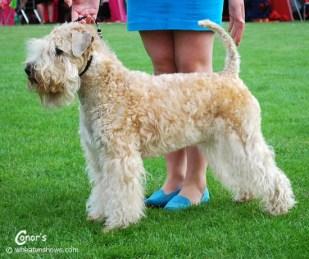 2014-07-20_Iness-Wheaten-Lulaby