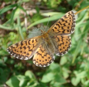 Fritillary (not sure which type, if you know please let me know!)