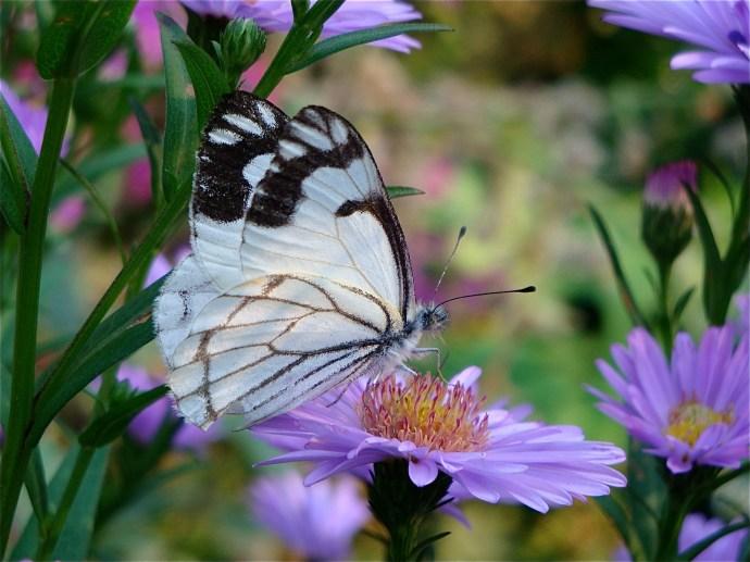 Pine White, late summer markings