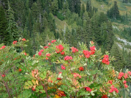 fall berries of red elderberry