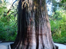 """one of the giant trees in """"Grove of the Patriarchs"""""""