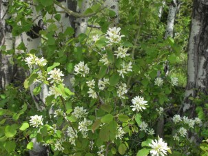 Idaho stare flower, very fragrant, we saw it everywhere, in Idaho and Montana and in the park (which is in Wyoming)