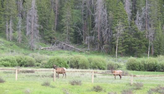 a few young elk