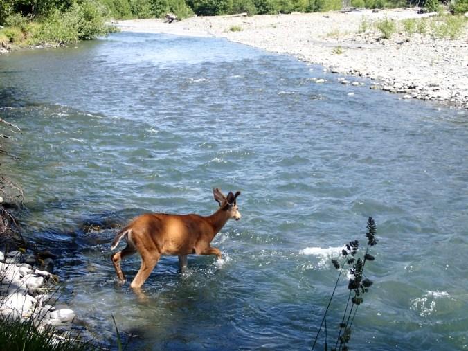 Buck At 5 Mile Island