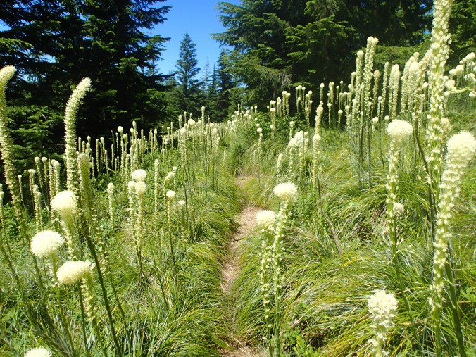 Bear Grass Around The Trail