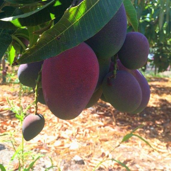 mangos irwin madurados en el arbol