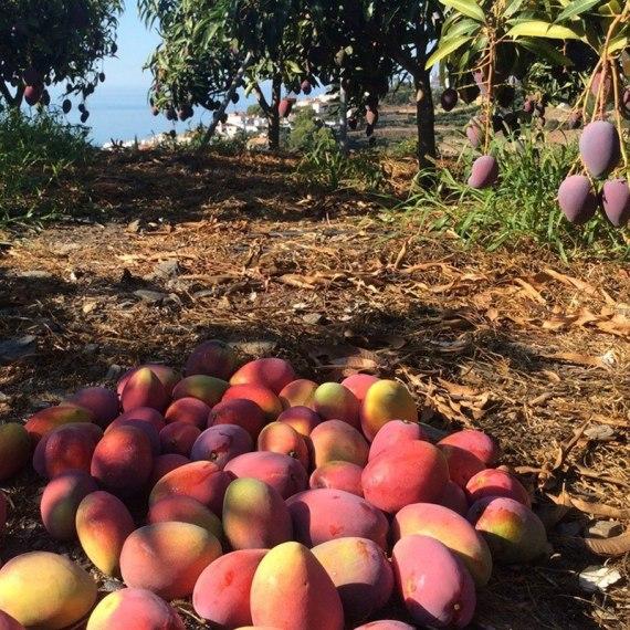 mango irwin recolectado del árbol
