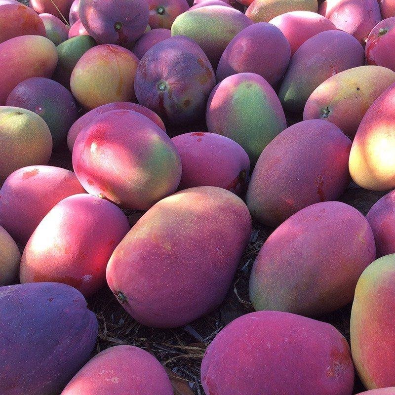 comprar mangos recién recolectados