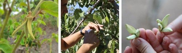 polinización flor del chirimoyo