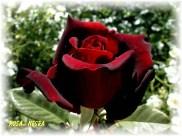 Black Qeen ( Rosa Negra )