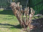 Aspecto final del arbusto (2)