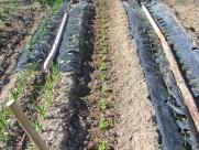 Lechugas plantadas (1)