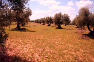 olivar sostenible, habitat del mochuelo