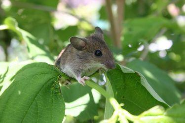 foto raton en árbol