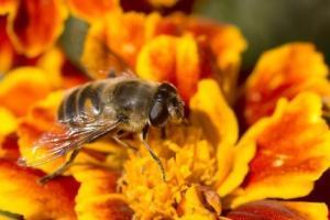 flor de tagete con una abeja