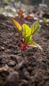 acelga roja planta