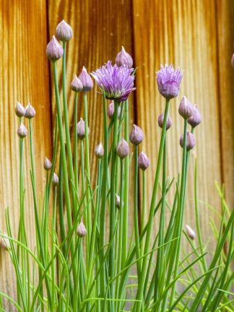 planta de cebollino con flor morada