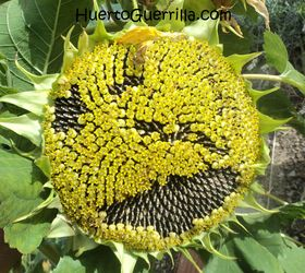 semillas de girasol madurando