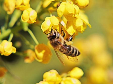abeja polinizando flor amarilla