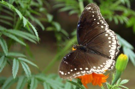 mariposa en una planta de tajete