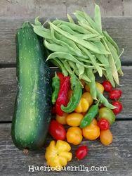 tomates cherry rojos y amarillos, calabacín, judia y algún pimineto.