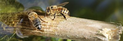 dos abejas bebiendo agua