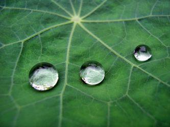 tres gotas de agua en la hoja de la planta capuchina.